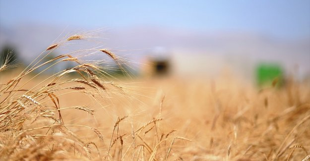 Buğdayın 2020 rekoltesinin 20,5 milyon tona ulaşması bekleniyor