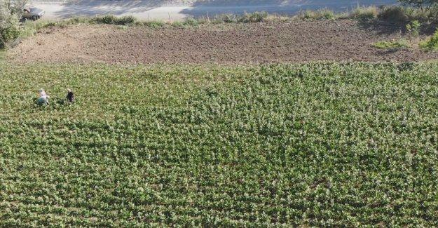 Bafra Ovası'nda tütün hasadı başladı