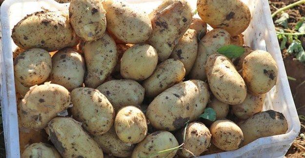 Erkenci patateste verim ve kalite yüz güldürdü