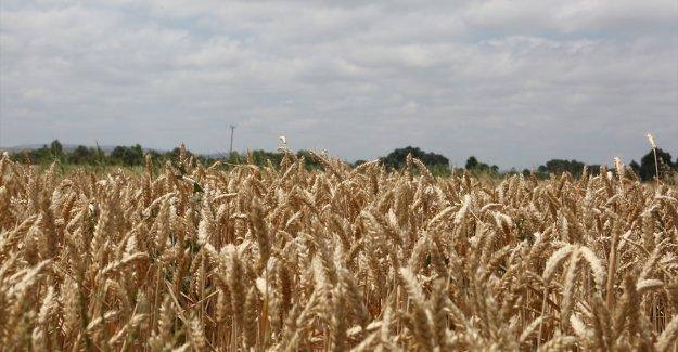 """Milli tohum """"Hüseyinbey"""" ile buğday verim rekoru kırıldı"""