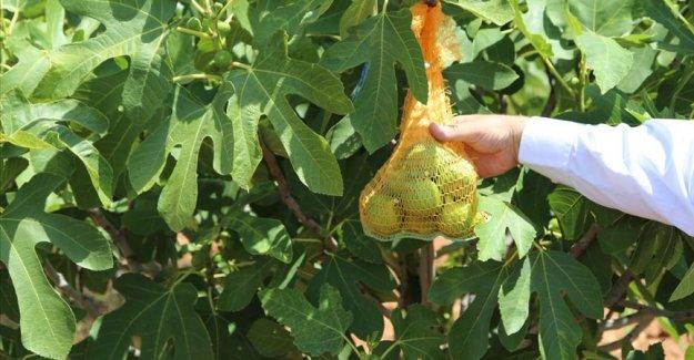 Şanlıurfa'da incir üretimi 'ilekleme' yöntemiyle artırılacak