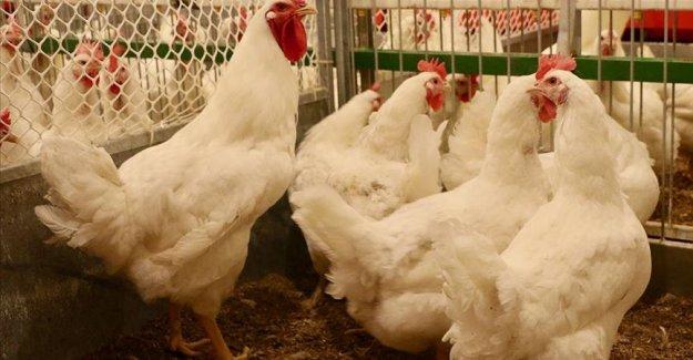 Yerli etlik damızlık tavuk 'Anadolu-T' gelecek yıl sofralarda olacak