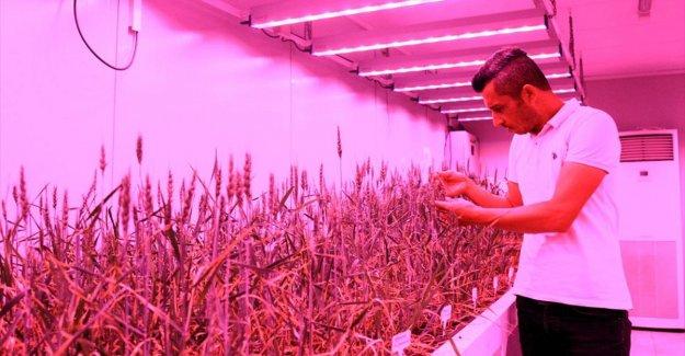 Buğdayın laboratuvardaki hasadı 8 aydan 2 aya düştü