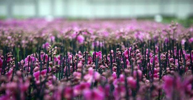 Serada yetiştirilen rengarenk orkideler iç pazarın gözdesi oldu