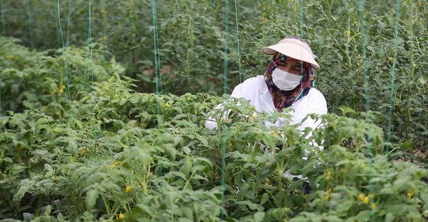 Türkiye'nin yerli ve milli sebze tohumları kadınlara emanet