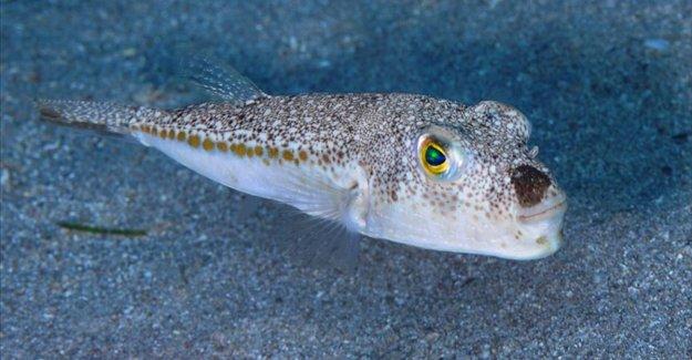 Tarım ve Orman Bakanı Pakdemirli: Balon balığı avcılığını destekleme kapsamına aldık