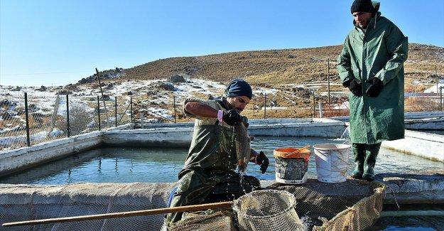 Muş'ta 2 bin 100 rakımlı dağın eteğine kurulan tesiste somon balığı sağımı
