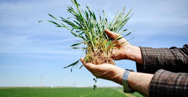 Buğdayda bu sezon rekolte beklentisi 19 milyon ton