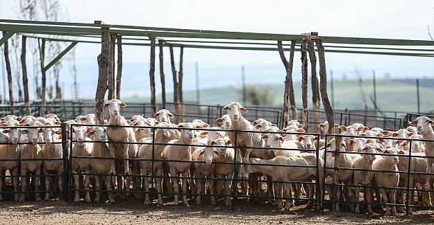 Bursa'da AB fon desteğiyle kurulan çiftlik damızlık koyun talebine yetişemiyor