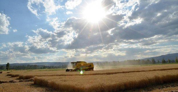 Buğdayda bu yıl 17,5 milyon ton rekolte bekleniyor