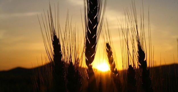 Çiftçiler Cumhurbaşkanı Erdoğan'ın açıkladığı hububat alım fiyatlarından memnun