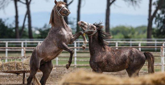 Hipodromların 'tozunu attıracak' şampiyon adayı atlar yeni sahiplerini bekliyor