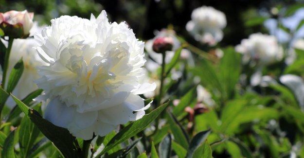"""Özel günlerin çiçeği """"şakayık"""" Yalova'dan yurdun dört bir yanına gönderiliyor"""