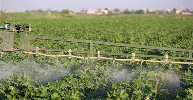 'GAP'ın başkenti'nde ekim alanı artan pamukta yüksek rekolte bekleniyor