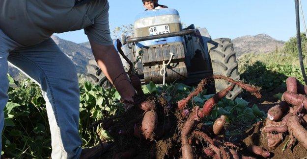 Muğla'da hasadına başlanan mor patates verimi ve fiyatıyla üreticiyi sevindirdi