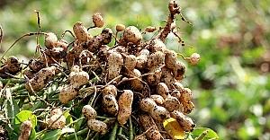 Yerli ve milli 'Ayşehanım' yer fıstığı tohumu ABD'ye rakip olacak